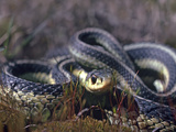 Common Garter Snake All Coiled Up, Ontario, Canada Photographic Print by Tim Fitzharris