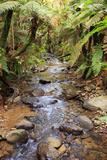 Kauri Lookout Trail Within Waiau Falls Scenic Reserve on Coromandel Peninsula, New Zealand Reproduction photographique par Paul Dymond
