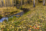 Fallen Aspen Leaves Carpet the Forest Floor in the Uncompahgre National Forest, Colorado, Usa Stampa fotografica di Chuck Haney