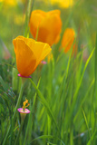California Golden Poppies in a Green Field Photographic Print by John Alves