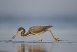 Tri-Colored Heron Feeding in Saline Wetland Photographic Print by Larry Ditto