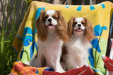 Cavaliers at a Pool Party Photographic Print by Zandria Muench Beraldo