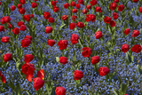 Tulips, Botanic Gardens, Hagley Park, Christchurch, Canterbury, South Island, New Zealand Photographic Print by David Wall