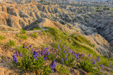 Penstemon Wildflowers in Badlands National Park, South Dakota, Usa Photographic Print by Chuck Haney