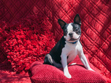 Boston Terrier on Red Photographic Print by Zandria Muench Beraldo