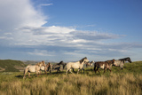 Wild Horses in Theodore Roosevelt National Park, North Dakota, Usa Photographic Print by Chuck Haney