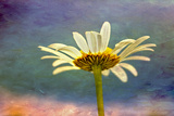 Oxeye Daisy Composite with Textured Background Photographic Print by Adam Jones