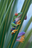 Red-Eyed Tree Frog, Costa Rica Photographic Print by Tim Fitzharris