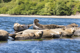 Washington State, Poulsbo. Harbor Seal Haul Out. Liberty Bay Reproduction photographique par Trish Drury