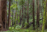 Mature Redwood Forest in Muir Woods National Monument in Mill Valley, California, Usa Photographic Print by Chuck Haney