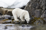 Norway, Svalbard, Polar Bear Walking Along the Coast Photographic Print by Ellen Goff