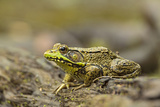 Southern Leopard Frog, Rana Sphenocephala, Kentucky Photographic Print by Adam Jones