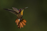 Ruby Topaz Hummingbird Photographic Print by Ken Archer
