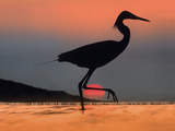 Egret During a Summer Sunset, Kenya, Africa Photographic Print by Tim Fitzharris