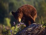 Black Bear Cub, Montana Usa Photographic Print by Tim Fitzharris