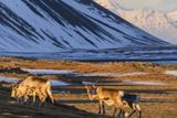 Reindeer Grazing Near Hofn, Iceland Photographic Print by Chuck Haney
