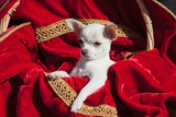 Chihuahua Puppy Surrounded in Red and Gold Photographic Print by Zandria Muench Beraldo
