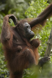 Orangutan Mother and Baby in a Tree, Sabah, Malaysia Photographic Print by Tim Fitzharris