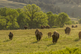 South Dakota, Custer State Park. Bison Herd in Field Photographic Print by Jaynes Gallery
