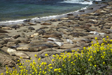 Northern Elephant Seals, Piedras Blancas Elephant Seal Rookery, Near San Simeon, California Photographic Print by David Wall