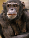 Chimpanzee Portrait, Kenya, Africa Photographic Print by Tim Fitzharris