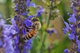 Honey Bee Collecting Nectar, Apis Mellifera, Kentucky Photographic Print by Adam Jones