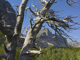 Close-Up of a Twisted Dead Tree at the Apikuni Mountain, Glacier National Park, Montana, Usa Photographic Print by Tim Fitzharris