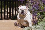 Bulldog Sitting on Garden Pathway Photographic Print by Zandria Muench Beraldo