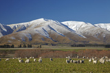Sheep and Kakanui Mountains, Kyeburn, Central Otago, South Island, New Zealand Photographic Print by David Wall