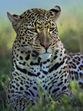 Leopard Portrait, Kenya, Africa Photographic Print by Tim Fitzharris