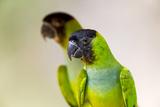 Brazil, Mato Grosso, the Pantanal. Black-Hooded Parakeet Portrait Reproduction photographique par Ellen Goff