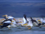 African White Pelicans, Lake Nakuru, Kenya Photographic Print by Tim Fitzharris