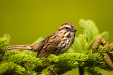 Canada, Nova Scotia, Cape Breton, Song Sparrow, Melospiza Melodia Photographic Print by Patrick J. Wall