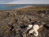 Polar Bear Resting with Cubs in Hills Above,Canada Photographic Print by Paul Souders