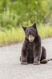 Glacier National Park, the Loser of Bear-Truck Collision on the Camas Road Photographic Print by Michael Qualls