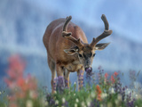 Mule Deer in Velvet, Olympic National Park, Washington State, Usa Photographic Print by Tim Fitzharris