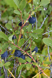 Alaska, Hatchers Pass, Low Bush Blueberry Photographic Print by Savanah Stewart