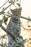 Botswana. Okavango Delta. Khwai Concession. Leopard Up in a Tree at Sunset Photographic Print by Inger Hogstrom