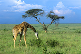 Masai Giraffe Grazing on the Serengeti with Acacia Tree and Clouds Photographic Print by John Alves