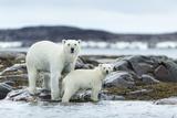 Polar Bear and Cub Walk Along Harbor Islands Shoreline, Hudson Bay, Canada, Nunavut Territory Photographic Print by Paul Souders
