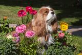 Cavalier Sitting in a Flowerbed Photographic Print by Zandria Muench Beraldo
