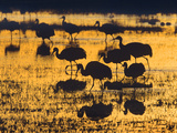 Sandhill Cranes in a Wetland at Sunset, New Mexico Usa Photographic Print by Tim Fitzharris