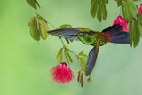 Copper-Rumped Hummingbird Photographic Print by Ken Archer