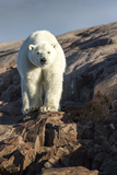 Canada, Nunavut Territory, Repulse Bay, Polar Bear Walking on Rocky Shoreline Along Hudson Bay Photographic Print by Paul Souders