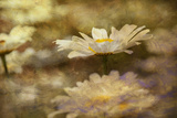 Composite Image of Oxeye Daisy and Texture, Louisville, Kentucky Photographic Print by Adam Jones