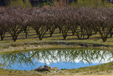 Irrigation Dam and Orchard in Blossom, Alexandra, Central Otago, South Island, New Zealand Photographic Print by David Wall