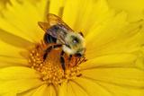 Carpenter Bee Collecting Nectar, Kentucky Photographic Print by Adam Jones