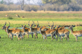 Botswana. Okavango Delta. Khwai Concession. Red Lechwe Herd Photographic Print by Inger Hogstrom