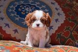 Cavalier King Charles Spaniel Puppy Photographic Print by Zandria Muench Beraldo