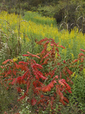 Sumac and Goldenrods Near Dequeen, Arkansas, Usa Photographic Print by Tim Fitzharris